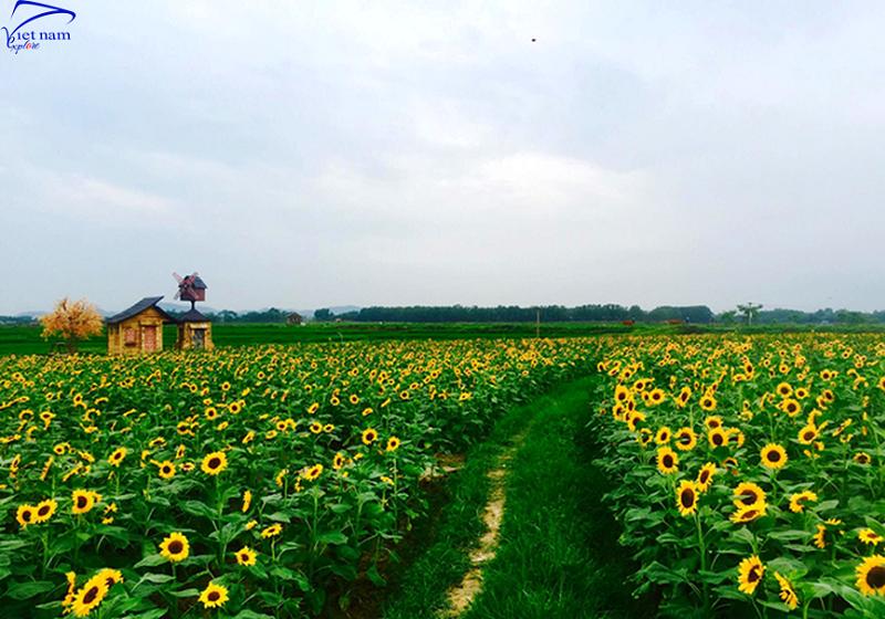 Check in cánh đồng hoa hướng dương ở Bắc Giang